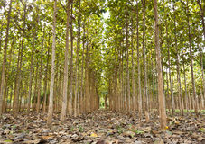 Tekowi drzewa w rolniczym Zdjęcia Stock