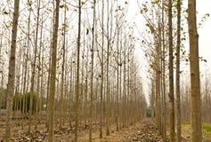 Tekowi drzewa w rolniczym lesie, północ Tajlandia Zdjęcie Royalty Free
