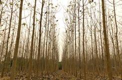 Tekowi drzewa w rolniczym lesie Obrazy Stock