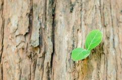 Tekowy drzewa i potomstw urlop Zdjęcie Royalty Free