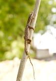 Teksas aligatora jaszczurka Zdjęcie Stock