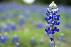 Teksas Bluebonnet Obrazy Royalty Free