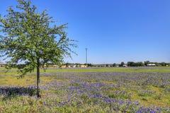 Teksas Bluebonnet kwiat obrazy stock