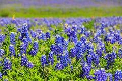 Teksas Bluebonnet kwiat fotografia royalty free
