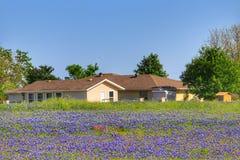 Teksas Bluebonnet kwiat obraz royalty free