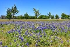 Teksas Bluebonnet kwiat obraz stock