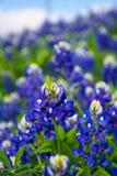 Teksas Bluebonnet kwiaty Zdjęcia Royalty Free