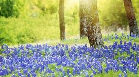Teksas bluebonnet kwitnie kwitnienie pod drzewami fotografia royalty free