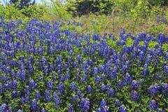 Teksas Bluebonnet pole Obraz Royalty Free
