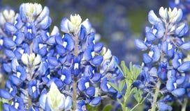 Teksas Bluebonnets Obraz Stock