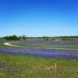 Teksas Bluebonnets fotografia royalty free