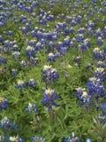 Teksas Bluebonnets Zdjęcie Stock