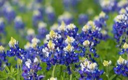 Teksas bluebonnets kwitnie na łące (Lupinus texensis) Obrazy Stock