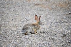 Teksas Cottontail królik pauzował i patrzejący oddalony podczas gdy krzyżujący przejście Obrazy Royalty Free