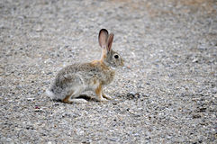 Teksas Cottontail królik pauzujący i raźny Obraz Royalty Free