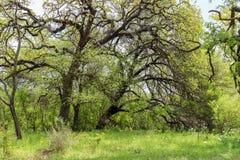 Teksas Dębowi drzewa na Wierzbowej miasto pętli Zdjęcie Royalty Free