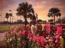 Teksas drzewek palmowych zmierzchu spacer kwitnie pomarańczowego wieczór obrazy royalty free