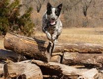 Teksas Heeler psi przeskakiwać nad stosem bele fotografia stock