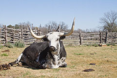 Teksas longhorn Obraz Stock