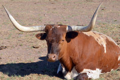Teksas longhorn Obrazy Stock