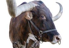 Teksas longhorn przy stanu jarmarkiem odizolowywającym Obrazy Royalty Free