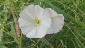 Teksas ranku chwały purpur dziki Bindweed Zdjęcie Stock