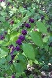 Teksas roślina Obraz Royalty Free