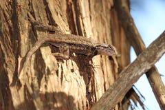 Teksas spiny jaszczurka na drzewie Obraz Stock