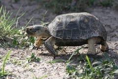 Teksas Tortoise odprowadzenie Zdjęcia Stock
