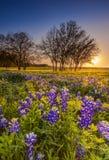 Teksas wildflower - bluebonnet lub lupine segregujący przy zmierzchem Obraz Stock
