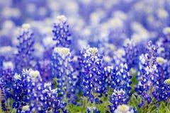 Teksas wildflower - zbliżeń bluebonnets w wiośnie Obraz Stock