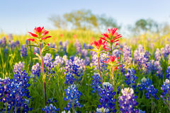 Teksas Wildflowers zdjęcia royalty free