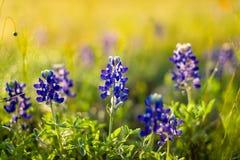 Teksas Wildflowers obraz royalty free