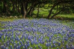 Teksas wzgórza kraju Bluebonnets Fotografia Royalty Free