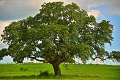 Teksas wzgórza kraju Dębowy drzewo Fotografia Stock