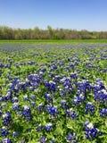 Teksascy Bluebonnets zdjęcia royalty free