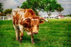 Teksaski longhorn Obrazy Royalty Free