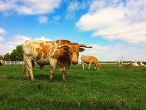Teksaski longhorn Zdjęcia Stock