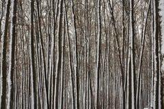 Tekstura śnieżyści drzewni bagażniki zdjęcia royalty free