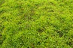Tekstura świrzepa i trawa jako świeżość zieleniejemy tło obrazy royalty free