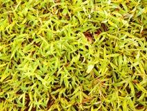 Tekstura żółte traw rośliny Obrazy Royalty Free