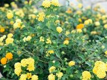 Tekstura żółty piękny miękkiej części pole kwitnie z zielonymi liśćmi verdure pozyskiwania środowisk gentile Obrazy Royalty Free