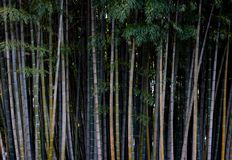 Tekstura bambusowy gaj, wysoki bambus obraz stock