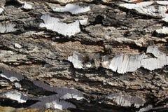 Tekstura brzozy barkentyna Obraz Stock