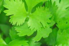 Tekstura cilantro obrazy royalty free