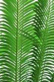 Tekstura drzewko palmowe liście Zdjęcia Royalty Free