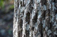 Tekstura drzewna barkentyna Fotografia Stock