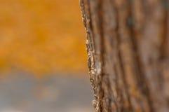 Tekstura drzewna barkentyna Obraz Royalty Free
