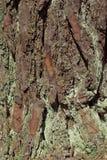 Tekstura drzewna barkentyna Zdjęcie Stock
