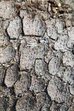 Tekstura drzewna barkentyna sosna zdjęcia royalty free